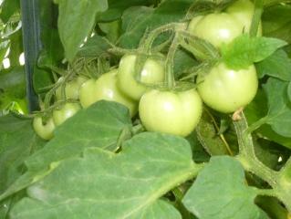 Аркаим. помидоры 12.07