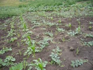 Опытная бахча дыни и арбузы в начале июля