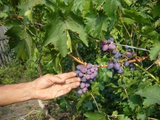 Арбузы и виноград 2012
