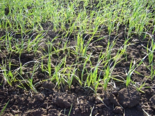 Аркаим. Пшеница зеленеет