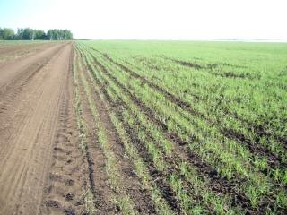 Аркаимские поля пшеницы